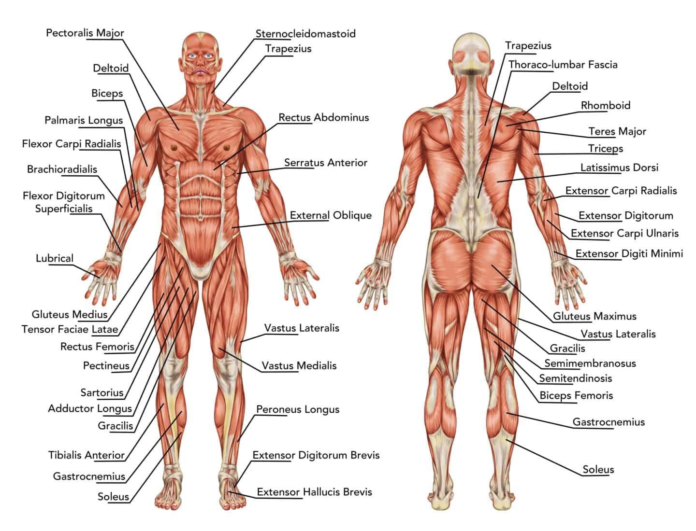 Est-ce qu'on fait du muscle?